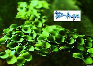 Salvinia Cucculata (asian Watermoss) Aquarium Plantes Flottantes-afficher Le Titre D'origine