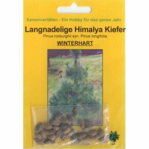 90019 35 semi di Pinus Roxburghii Lang nadelige Himalaya Pino BONSAI