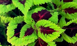 Recommended Kong Lime Sprite Coleus Herbs Seeds Professional