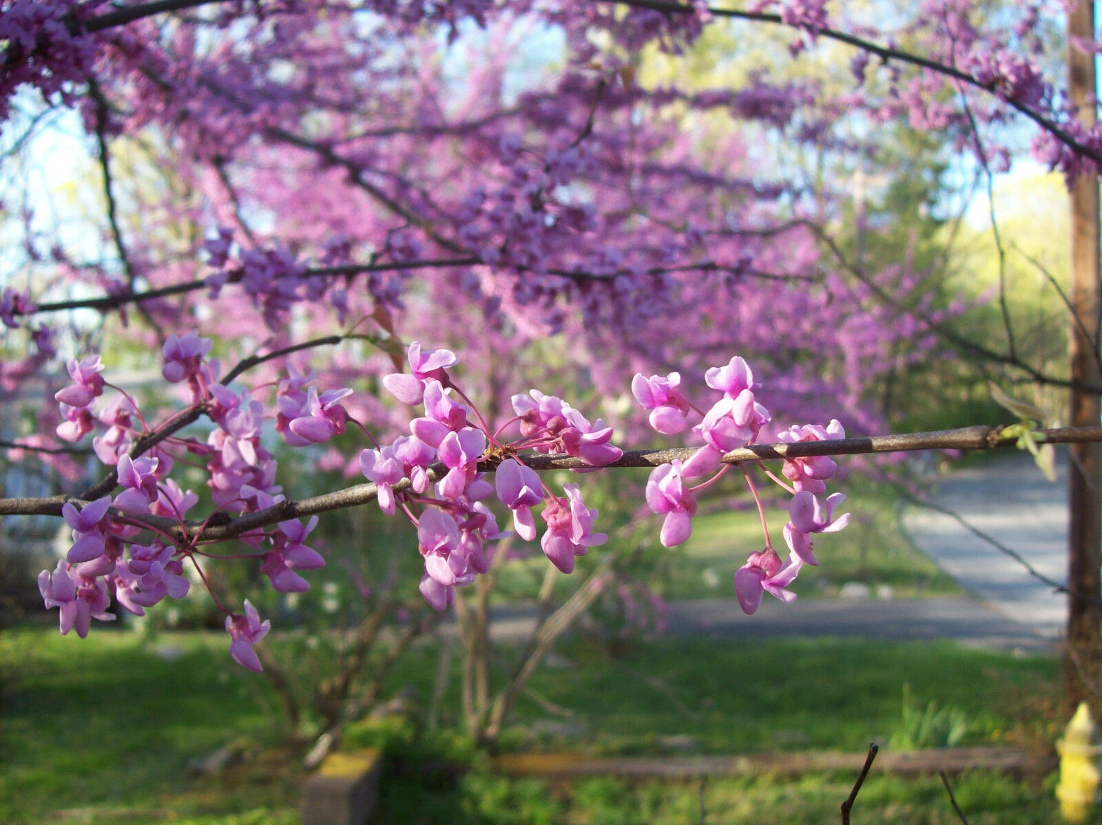 Eastern Redbud Tree Healthy Established Roots 1 Gallon Trade