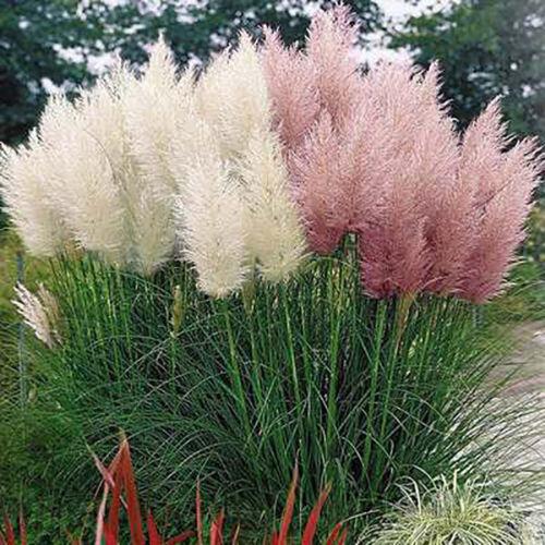 500Pcs Pampas Grass Ornamental Plant Seeds Garden Yard Growing DIY Home AG/_ HB