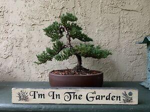 Bonsai Tree Dwarf Japanese Juniper Procumbens Nana Beautiful Example Ebay