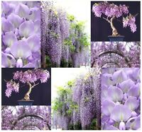 Chinese Blue Purple Wisteria - Wisteria Sinensis Seeds - Bonsai Tree Seed Z. 3-9