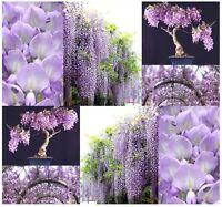 Chinese Blue Purple Wisteria - Wisteria Sinensis Seeds - Bonsai Tree Seed Z. 3-9