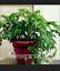 10-Kinds-Mix-Philodendron-Bonsai-Vine-Leaf-Indoor-Plants-Tree-NEW-100-Pcs-Seeds thumbnail 1