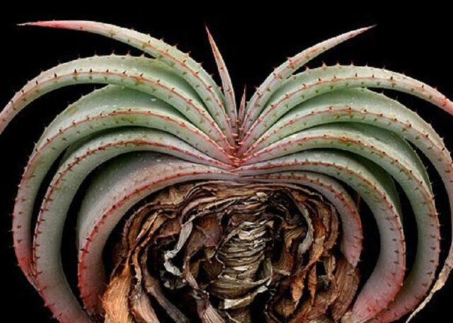 RARE ALOE SUPRAFOLIATA @ exotic cacti xeriscaping succulent cactus seed 10 SEEDS