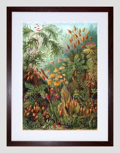 NATURE ERNST HAECKEL SEA PLANT BIOLOGY GERMANY VINTAGE FRAMED PRINT B12X2845