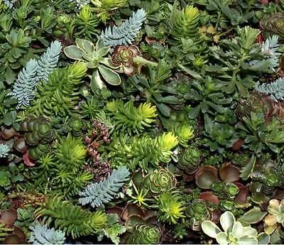 Sedum Mixture - 250 Seeds - Stonecrop Succulent