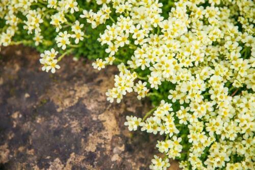 groundcover Perennial Linum flavum /'Compactum/' 30 Seeds Dwarf Golden Flax