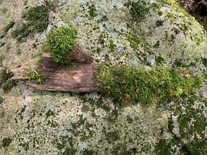Mossy Stick, Approximately 12 inches long, 4 inches wide, 1 inch high