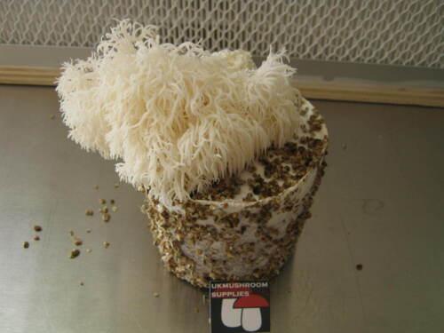 Lion/'s mane Enokitake or Reishi mushroom grow kit wood based PF tek Shiitake