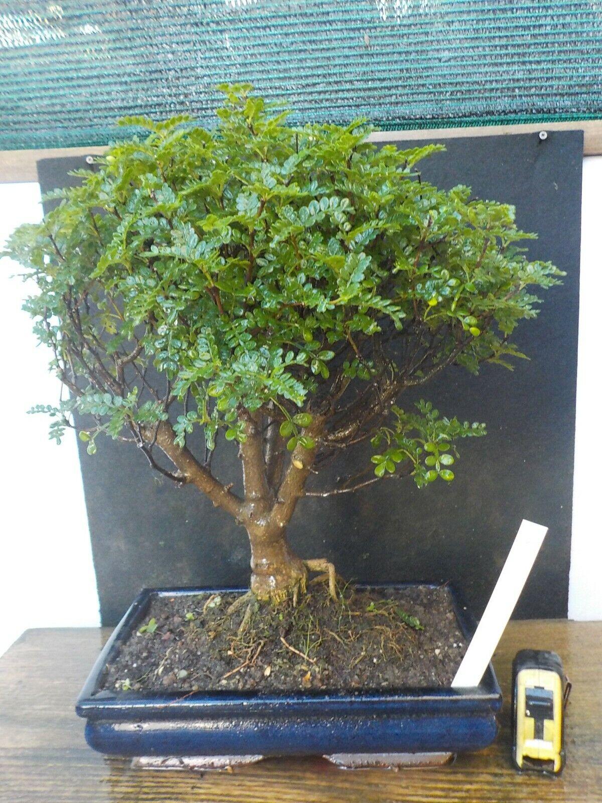 Bonsai di pepper h  46  cm visita il negozio
