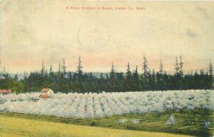 Clark-County-Washington-Prune-Orchard-Bloom-1907-Postcard-Waggener-10693