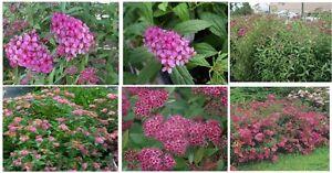 Spirea bush shrub pink anthony waterer perennial deep pink flowers image is loading spirea bush shrub pink anthony waterer perennial deep mightylinksfo