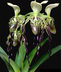 US-Seller-Brazilian-specialties-of-Cypripedium-flower-seeds-orchid-50PCS