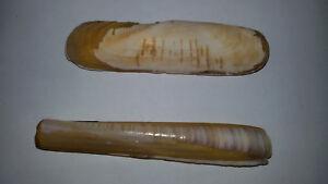 Conchiglia-Shell-TAGELUS-CALIFORNIANUS-ENSIS-SILIQUA-MINOR-set-di-2-pezzi