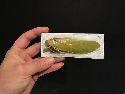 VERY BIG!! Entomologie Insecte Titanacris albipes Femelle A1 étalée!