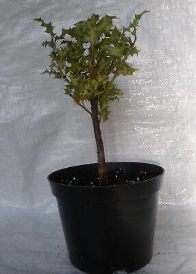 Holly Aquifolium Ilex Container Grown Plants  in 1//2 litre  Pot