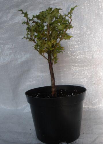Pot Aquifolium Ilex Container Grown Plants  50-75 cm inc Holly