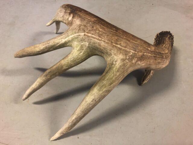 """HUGE 83 4/8"""" Naturally Shed Saskatchewan Whitetail Deer Shed Antler, Trophy Horn"""