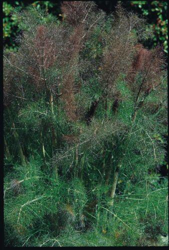 Fines herbes-suffolk herbs-bronze fenouil-foeniculum vulgare-paquet illustré