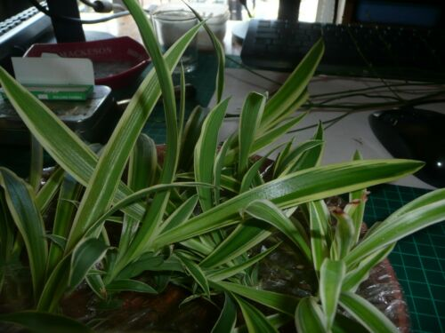 Baby Spider Chlorophytum Comosum Plants Rooted Air Purifier X 2