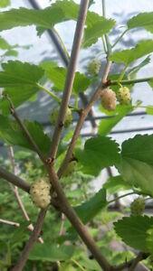 Morus-alba-weisse-Maulbeere-80-100cm-Maulbeerbaum