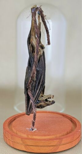 W70 Taxidermy REAL Hanging  Bat Glass Dome Display MALE well endowed Oddity