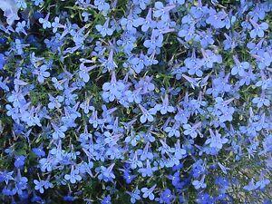 Flower Seed Cambridge Blue Lobelia Seeds 150 Seeds Fresh Seed Free