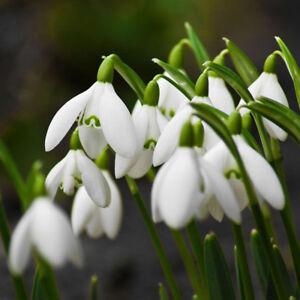 200Pcs-Snowdrop-Galanthus-Seeds-Autumn-Bulbs-Growing-Gardening-Flower-Pretty