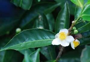 Industrieux Camellia Sinensis Assamica, Théier, Vert-thé Noir, 15 - 50 Graines-afficher Le Titre D'origine Promouvoir La Santé Et GuéRir Les Maladies