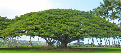 Monkey Pod Tree (Samanea saman) - 15 Seeds Bonsai or Feature