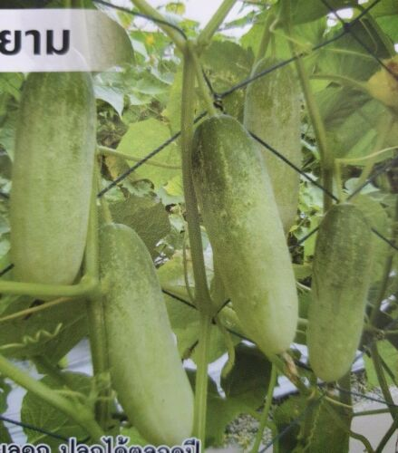Cucumber Thai Vegetable Plant Chia Tai 60 seeds     Free Shipping