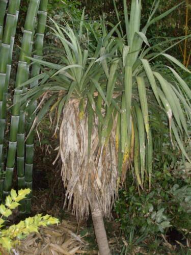 Yucca recurvifolia 40-50cm garant bis zu -25°C echte Sorte keine Gloriosa !
