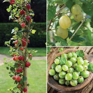 Gooseberry Hardy Fruit Shrub Garden Plant 1 x 3 Litre ...
