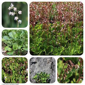 Porzellanblümchen | 1000 Korn Saatgut | Saxifraga x urbium | Schattensteinbrech