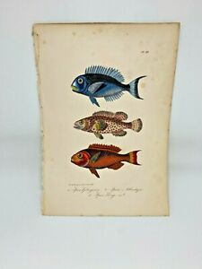 Fish-Plate-89-Lacepede-1832-Hand-Colored-Natural-History
