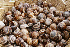 20 pcs European Land Snail Shells - Helix pomatia - Home Decoration , Aquarium