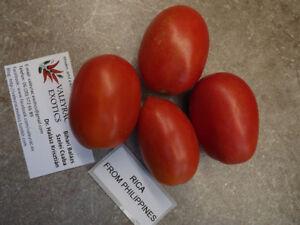 Rica-Tomate-aus-Philippinen-Tomate-Tomato-5-Samen-Saatgut-Seeds