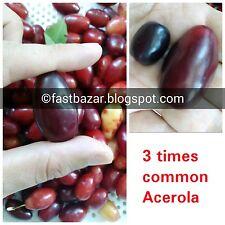 GIANT ACEROLA CHERRY ORGANIC SEEDS Cornus Mas dogwood high on Natural vitamin C