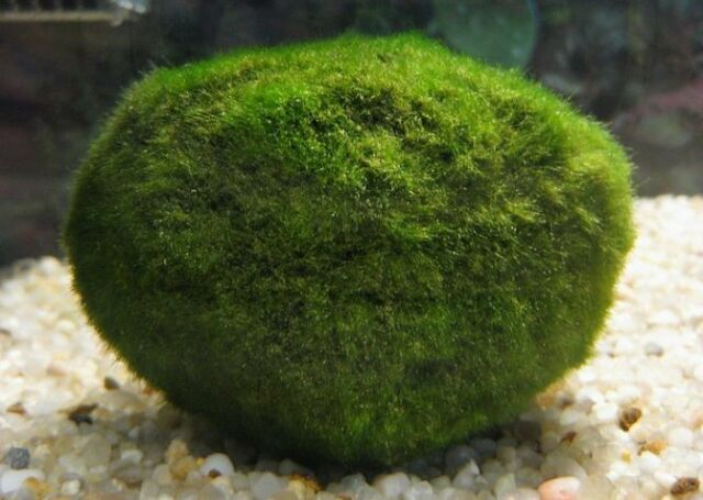 2 SMALL MARIMO MOSS BALLS LIVE TROPICAL AQUARIUM PLANT FISH CHERRY SHRIMP SNAIL