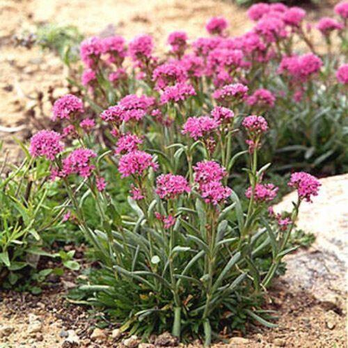 50 Seeds Alpina Lychnis BOGO 50/% off SALE