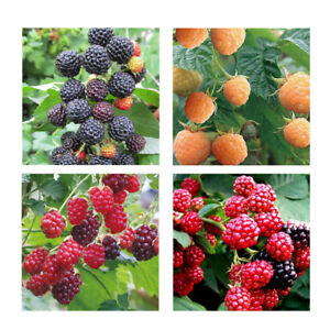 50pcs-Raspberry-Seeds-Fruit-Seeds-Red-Yellow-Black-Raspberry-Seeds-For-homeBLCA