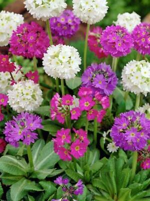 PRIMULA DENTICULATA RONSDORF MIX FLOWER SEEDS 25 PERENNIAL