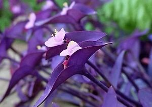 live plant 10 cuttings purple heart queen wandering jew spreads easy grow care ebay. Black Bedroom Furniture Sets. Home Design Ideas