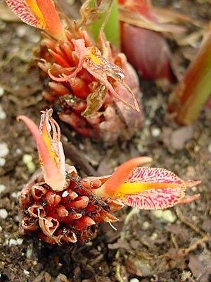 PüNktlich Wunderschöner Orchideen-ingwer - Tolle Pflanze ! Warmes Lob Von Kunden Zu Gewinnen