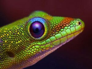 ANIMAL-PHOTO-GOLD-DUST-DAY-GECKO-HEAD-LARGE-WALL-ART-PRINT-POSTER-PICTURE-LF1893