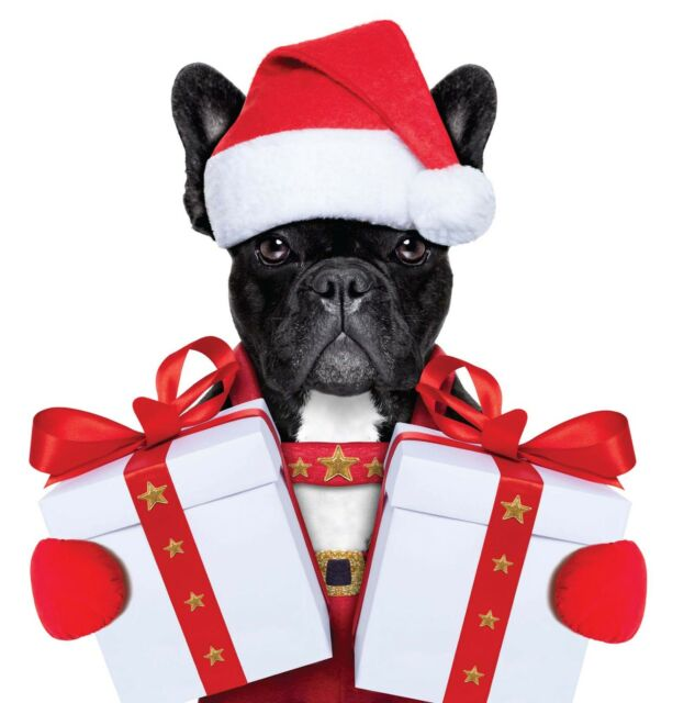 French Bull Dogs Comedy Blank Christmas card - Black & Fawn Dog & fast freepost