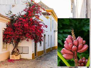 rosa banane und flammenbaum zwei h bsche rosa rote pflanzen f r drinnen ebay. Black Bedroom Furniture Sets. Home Design Ideas