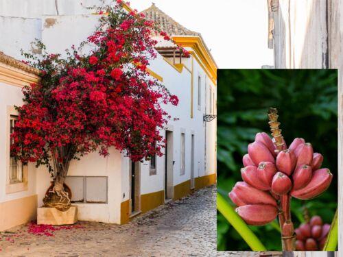 Rosa banane et Flammenbaum-deux jolies roses-rouge plantes pour l/'intérieur!